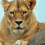 Female African Lion Captured With Canon Rebel T3