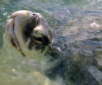 BP Forced To Rescue Sea Turtles!
