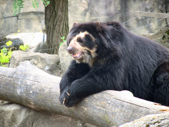 Wordless Wednesday- Spectacled Bear