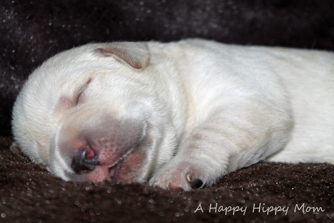 1 week old lab puppy