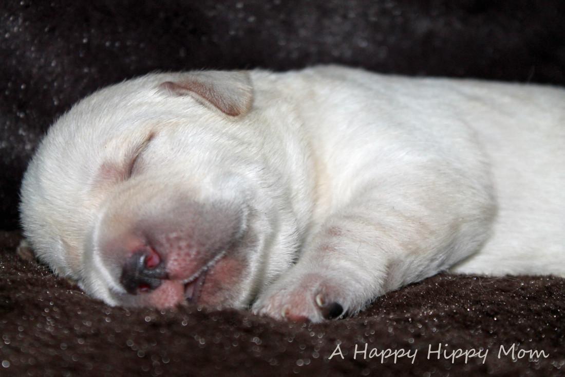 1 week old lab puppy