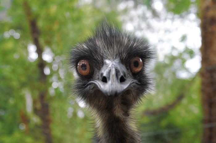 Ernie the Emu