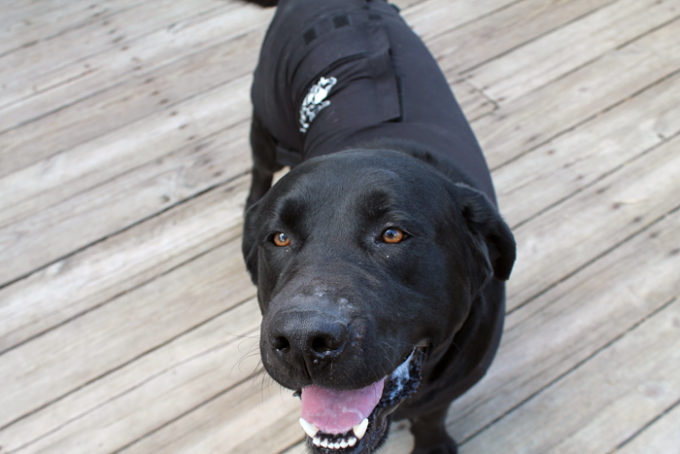 Calming Face Wrap &  Original Anxiety Wrap For Dogs Review- Holistic Solutions!