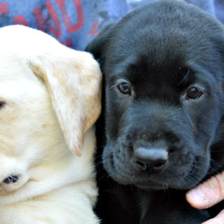english lab puppies