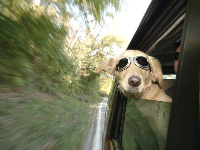 Menagerie in Motion: Driving With Pets in the Car