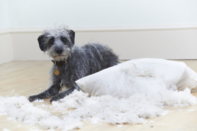Badly Behaved Dog Ripping Up Cushion At Home