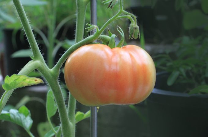tomato-food-nutrition-plant