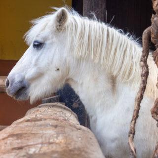 white beautiful pony