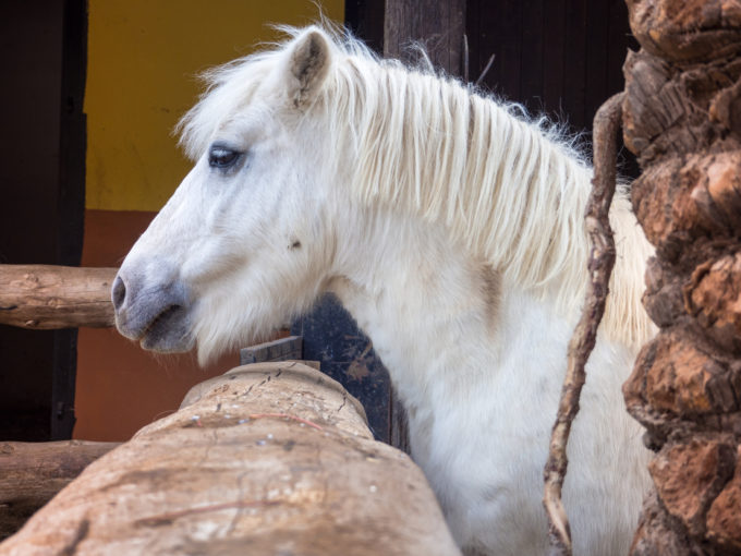 white beautiful pony